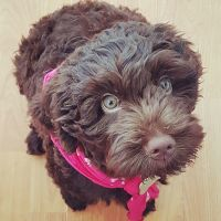 Cachorro Australian Labradoodles Argentina - Have a Doodle Day!
