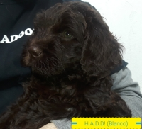Australian Labradoodles Argentina - Have a Doodle Day!